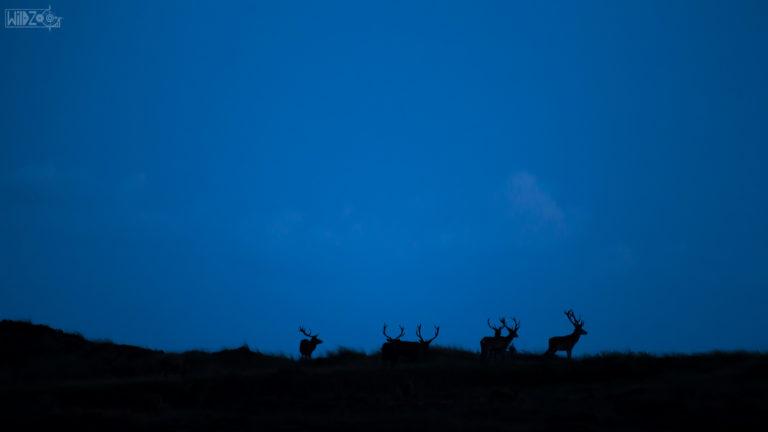 Blue hour with deers / Denmark / Lukas Schäfer