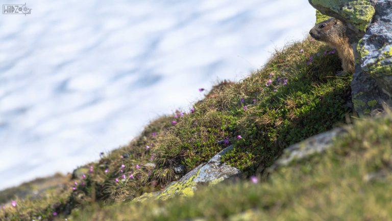 Marmot / Rein in Taufers (ITA) / Lukas Schäfer