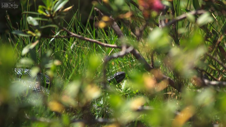 Black viper / Mühlbacher Tal (ITA) / Lukas Schäfer