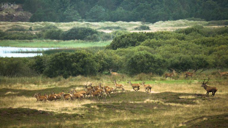 Running deers / Denmark / Daniel Tschurtschenthaler