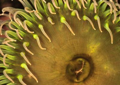 Sea anemone / Tofino (BC) / Daniel Tschurtschenthaler