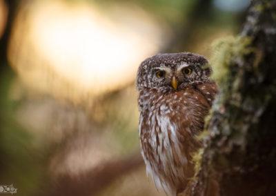 Eyecontact / European pygmy owl / Lukas Schäfer
