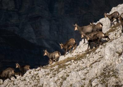 Chamois fam / Falzarego Pass (IT) / Daniel Tschurtschenthaler