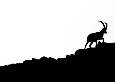 ibex, steinbock, animal, tiere, wildlife, nature, mountains, black and white, abstract,