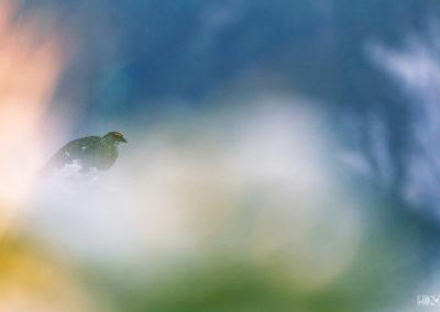 Snowgrouse in an abstract world / Dolomites (ITA) / Lukas Schäfer