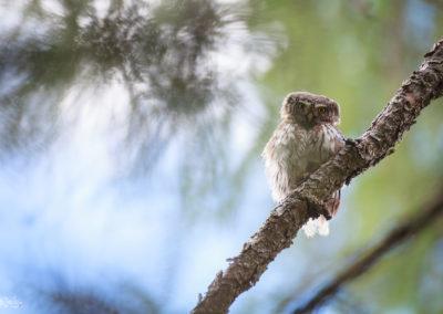 European pygmy owl / Dolomites (ITA) / Lukas Schäfer