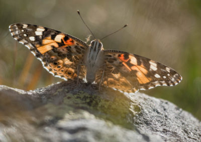 Butterfly / Sexten (IT) / Daniel Tschurtschenthaler
