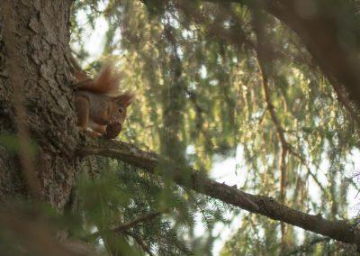 Squirrel / Sexten (IT) / Daniel Tschurtschenthaler