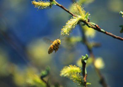 bee, honey, pollen, honeybee