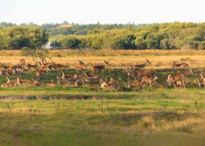 deer, rutting, brunft, denmark, nature, animals