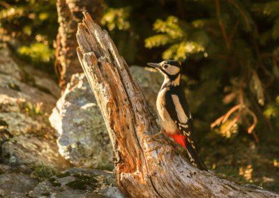 Great spotted woodpecker / Lothen (ITA) / Lukas Schäfer