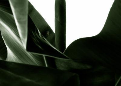 Banana tree spider / St.Georgen (ITA) / Daniel Tschurtschenthaler
